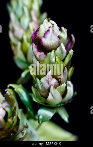 Hop cones isolated on a black background. Artificial silk flowers - Stock Photo