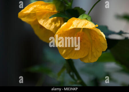 Sydney Australia, yellow chinese bell flower - Stock Photo