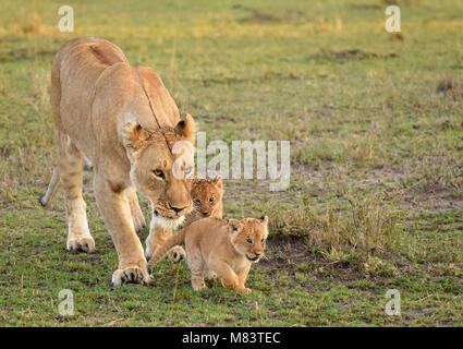 Lioness walking with her little cute cubs in Maasai Mara, Kenya