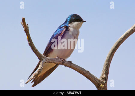 Tree Swallow (Tachycineta bicolor) has taken advantage of bluebird houses over much of North America. Habitat-Open - Stock Photo