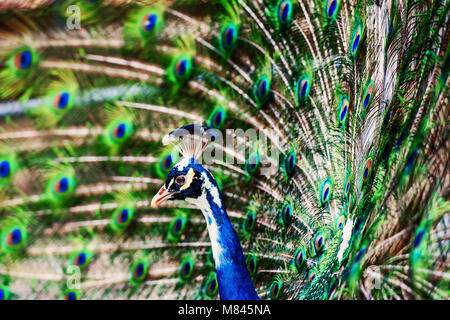 Beautiful peacock showing off his colorful tail fully opened - Stock Photo
