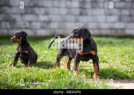 Dobermann puppy - Stock Photo