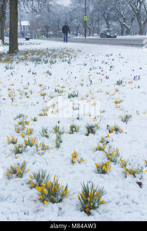 Crocuses in snow, Leeds, England. 8th March 2018 - Stock Photo