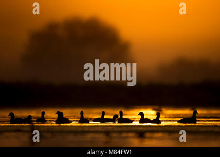 A silhouette of a small flock of American Coots floating in the shallows as the morning sun rises behind them. - Stock Photo