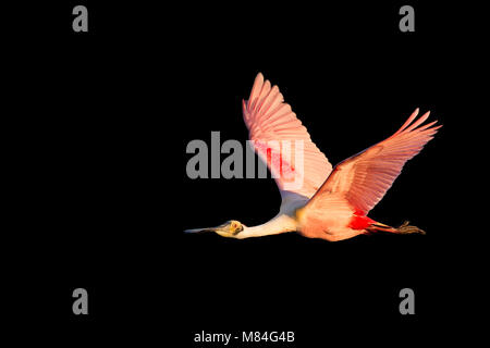 An adult Roseate Spoonbill flies in front of a solid black background in early morning sun with its bright pink - Stock Photo