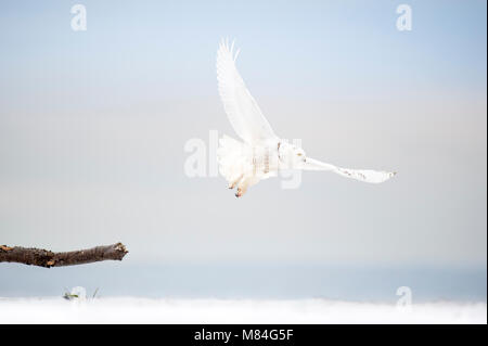 A bright white Snowy Owl flies low over the beach on an overcast winter day with the ocean in the background. - Stock Photo