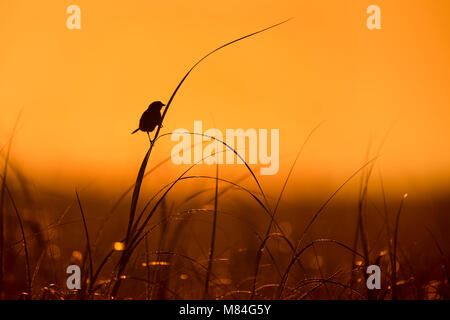 A Seaside Sparrow perches on high marsh grass silhouetted against the orange morning sky. - Stock Photo