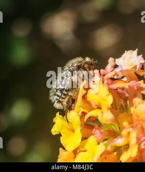 A macro shot of White Spot Chafer Beetle on a lantana flower. - Stock Photo