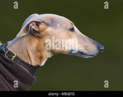 Closeup side view of the head of a Whippet dog. - Stock Photo