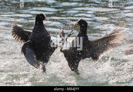 Pair of Eurasian Coots (Fulica atra) in water being aggressive in a lake in the UK. - Stock Photo