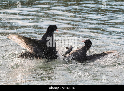 Pair of Eurasian Coots (Fulica atra) in water having a fight, with one clearly losing and begging for mercy, in - Stock Photo