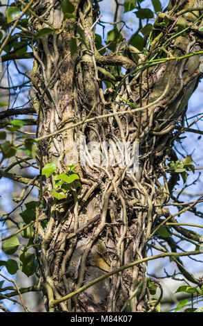 Ivy roots winding around and climbing up a tree trunk, nearly completely covering it in Winter in the UK. - Stock Photo