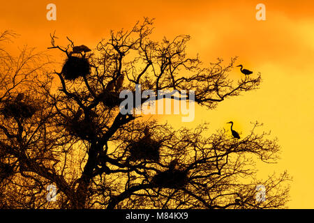 Grey herons (Ardea cinerea) breeding on nests in tree at heronry / heron rookery silhouetted against orange sky - Stock Photo