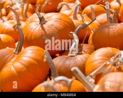 A Heap of Ripe Pumpkins on a Sunny Day in Fall - Stock Photo