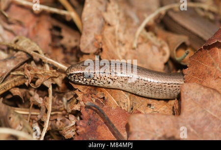 A head shot of a beautiful Slow worm (Anguis fragilis) poking its head out of leaves on the ground. It is warming - Stock Photo