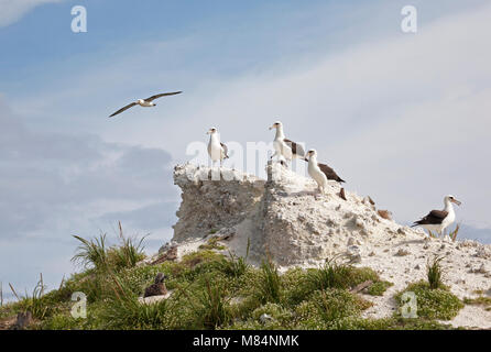 Laysan albatrosses perched on old sand berm revetments built to protect aircraft on Midway Atoll's Easter Island - Stock Photo