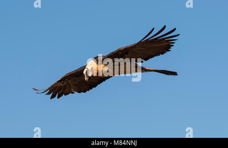 Adult Lammergeier or Bearded Vulture (Gypaetus barbatus) in flight Pyrenees Spain in a blue sky. - Stock Photo