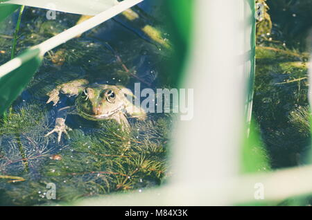 Green Frog in Marsh Water with Reeds - Stock Photo