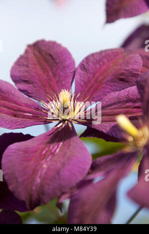 Picturesque close up view of a purple clematis in full bloom, in an English garden in the county of Cheshire. - Stock Photo