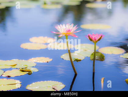 Water Lilies in a Calm Pont - Stock Photo