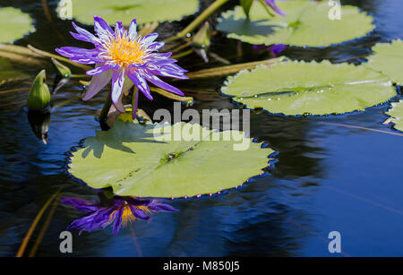 Water Lilies in a Calm Pond Surrounded by Lily Pads - Stock Photo