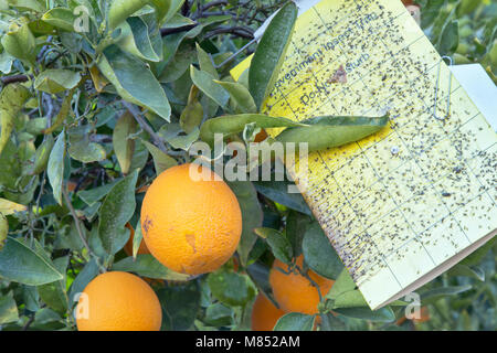 Treated Maturing Cutter nucellar Valencia Oranges on branch 'Citrus sinensis',  Government insect trap  'do not - Stock Photo