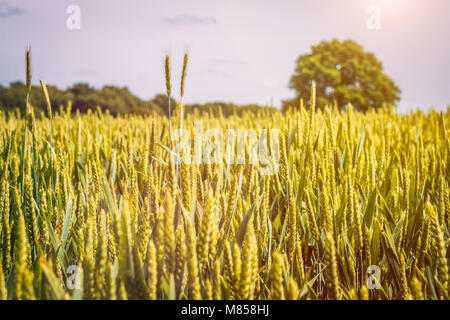 Wheat field in sunlioght and old oak tree in background - Stock Photo