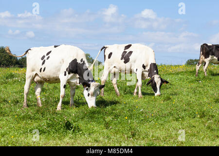 Two black and white Hostein dairy cows, cattle, with udders full of milk grazing on green grass in a lush spring - Stock Photo