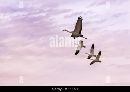 Sandhill Crane and Snow Geese in flight, Whitewater Draw Wildlife Area, Southeastern Arizona - Stock Photo