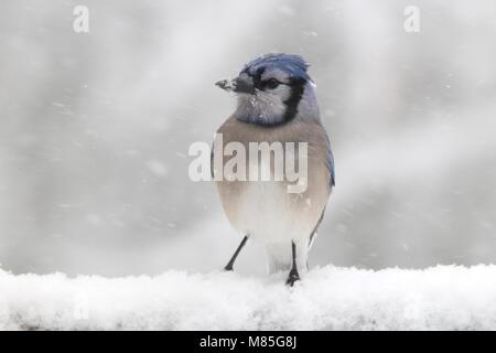 A blue jay Cyanocitta cristatis perching in the snow in a winter storm - Stock Photo