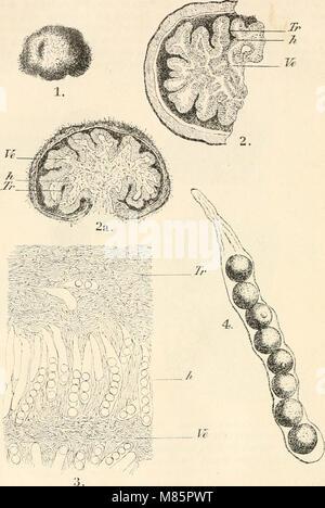 Dr. L. Rabenhorst's Kryptogamen-Flora von Deutschland, Oesterreich und der Schweiz (1897) (20915272778) - Stock Photo