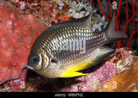 White-belly Damsel, Amblyglyphidodon leucogaster. Also known as Yellow Belly Damselfish. - Stock Photo