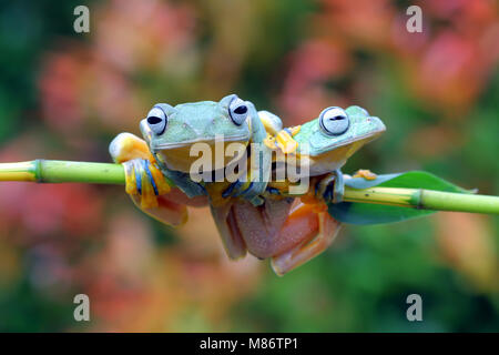 Two Javan tree frogs on a branch, Indonesia - Stock Photo
