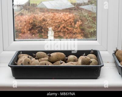 Chitting seed potatoes, variety Charlotte, on a domestic windowsill, England, UK - Stock Photo
