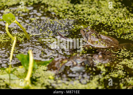 Common Frogs mating in garden pond covered with blanket weed,England - Stock Photo