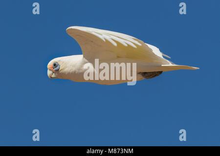 Little corella in flight - Stock Photo