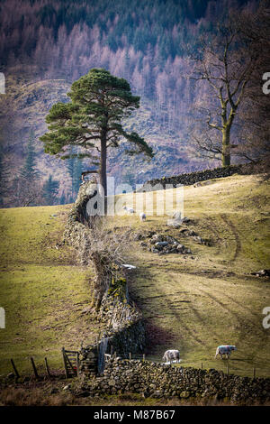 A lone Scots Pine standing at the field edge where two drystone walls meet in Thirlspot. - Stock Photo