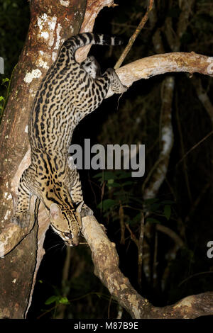 Ocelot (Leopardus pardalis) climbing down tree at night, Pantanal, Mato Grosso, Brazil - Stock Photo
