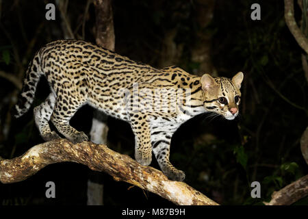 Ocelot (Leopardus pardalis) at night, Pantanal, Mato Grosso, Brazil - Stock Photo