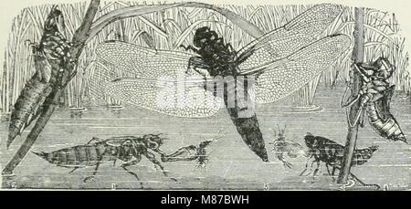 Economic entomology for the farmer and fruit-grower - and for use as a text-book in agricultural schools and colleges (1906) (14591274290) Stock Photo