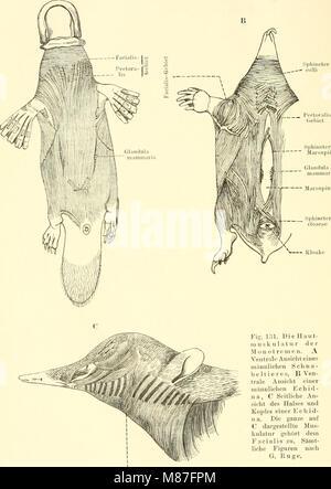 Einführung in die vergleichende Anatomie der Wirbeltiere, für Studierende (1907) (20579979713) - Stock Photo