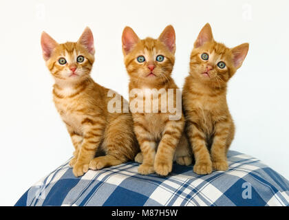 Three cute little cat kittens with blue eyes, red mackerel tabby, European Shorthair, best friends sitting close - Stock Photo