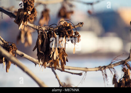 Dry common seeds of ash (Fraxinus excelsior) - Stock Photo