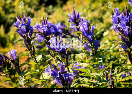 Medicinal herbs: Blue flowers of willow gentian (Gentiana asclepiadea) - Stock Photo