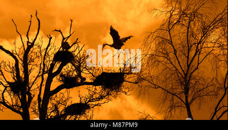 Grey heron (Ardea cinerea) landing on nest in tree at heronry / heron rookery silhouetted against orange sky at - Stock Photo