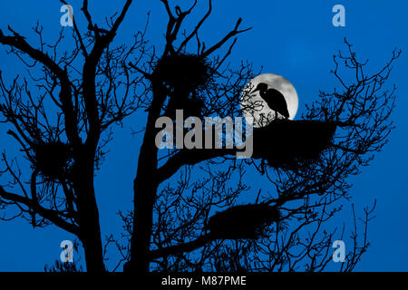 Grey heron (Ardea cinerea) perched on nest in tree at heronry / heron rookery silhouetted at night with full moon - Stock Photo