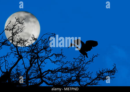 Grey heron (Ardea cinerea) landing on nest in tree at heronry / heron rookery silhouetted at night with full moon - Stock Photo