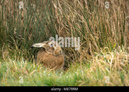 European brown hare,  Lepus europaeus, early March on rough Suffolk pastureland - Stock Photo