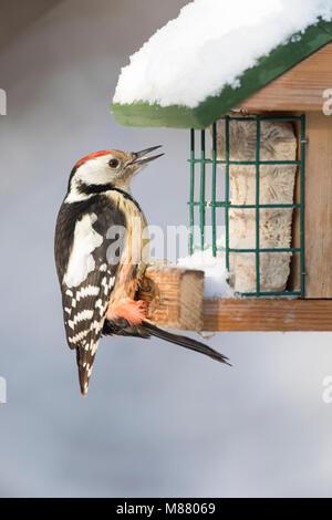Mittelspecht, Vogelfütterung, Winterfütterung, Mittel-Specht, Mittlerer Specht, Specht, Spechte, Leiopicus medius, - Stock Photo