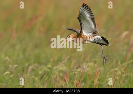 Grutto, Black-tailed Godwit; Limosa limosa - Stock Photo